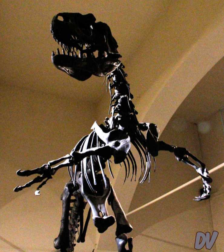 Lo scheletro di allosauro.