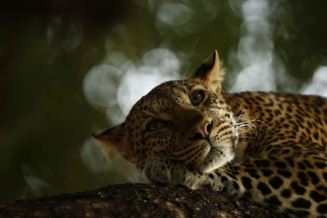 08_Lounging Leopard © Skye Meaker - Wildlife Photographer of the Year