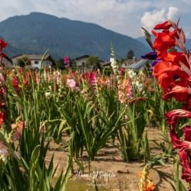 Campo_fiori_1