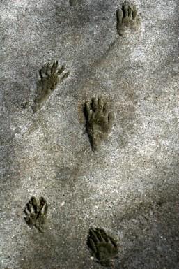Cement animal prints, Spring Lake Park