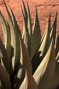 Yucca leaves and barbs, Sedona, AZ 3.18.16