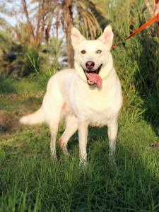 NAME:  JEWEL             GENDER:      Female  AGE:     2 years     BREED: Mix ( Husky/Desert ) EYES: Dual ( Left eye-Brown, Right eye-Blue) SIZE:     Medium ( much smaller then pure breed Husky)  STATUS: Available to adoption  Vet Records: Spayed, Vaccinated, Microchiped  ENERGY AND ACTIVITY LEVEL : Medium, some times Hyper , but Short term energy ,can be very playful and next to owner can be just a couch potato PERSONALITY: Friendly, Naughty and Fanny, Very positive, Loves everyone, enjoy cuddles, Loyal, not excessive barking , easy learning ,very smart, good on leash ,good  family dog and good with kids. Housetrained    RELATIONS WITH OTHER PETS : Friendly with  other doggies, enjoy playing with them, but if dog show aggression towards her, might protect her self   PREFERABLE LIVING ENVIRONMENT: Villa, Apartments