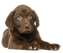 6-frequently-asked-questions-labrador-puppy-growth-e1416479421894