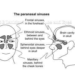 Facial Bones Diagram Not Labeled Plant Cell Black And White Misunderstanding Sinuses Relaxed Face A Personal