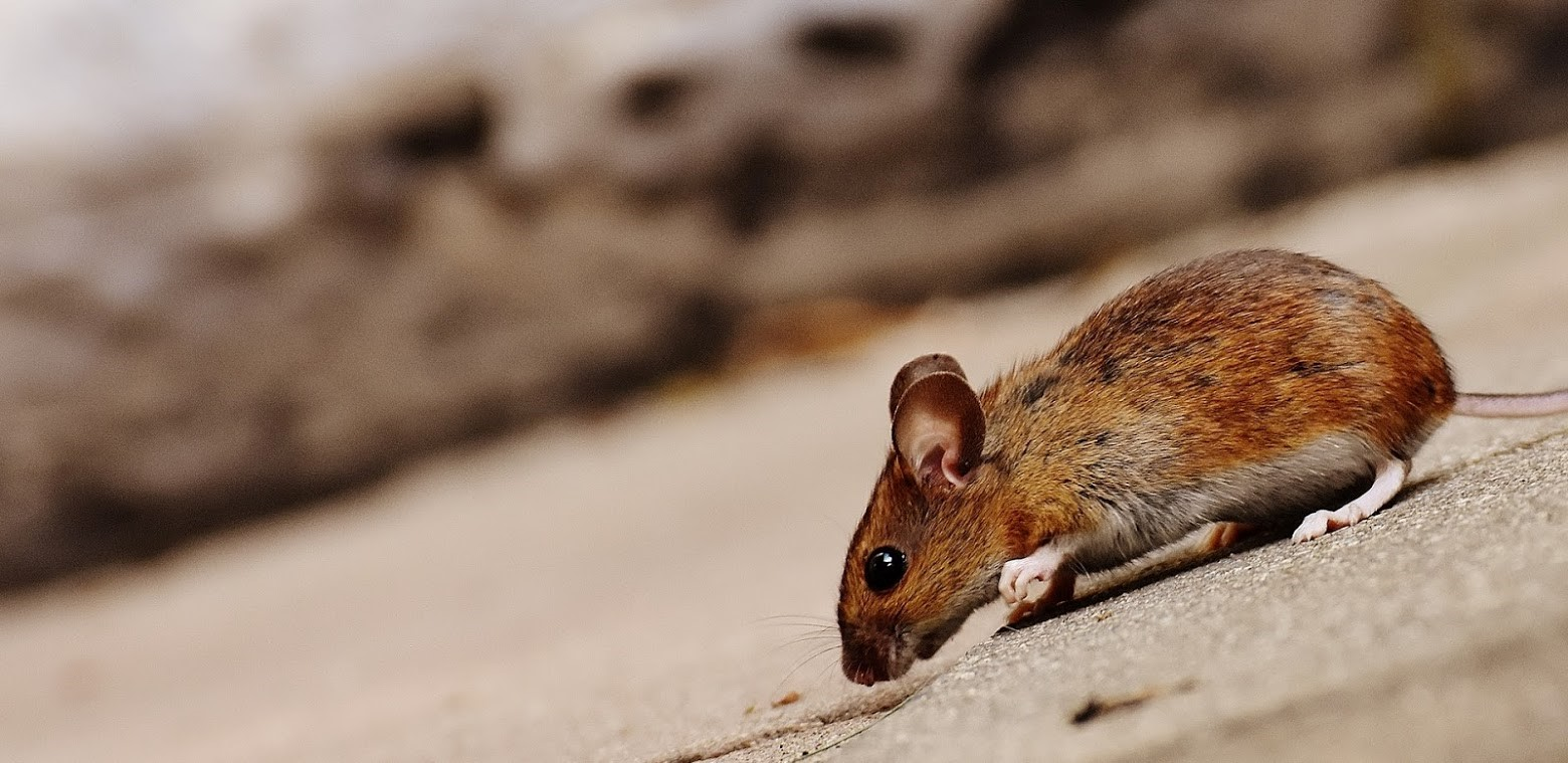 5 Serious Diseases Spread by Rodents | A-Alert Exterminating Service