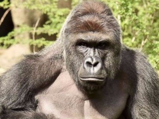 Harambee gorilla_1464563661481_2558069_ver1.0
