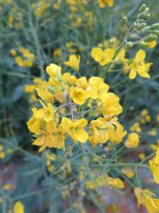 rapeseed plants in Luoping China