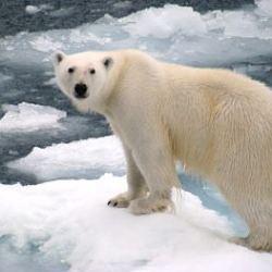you wont find a polar bear in antarctica