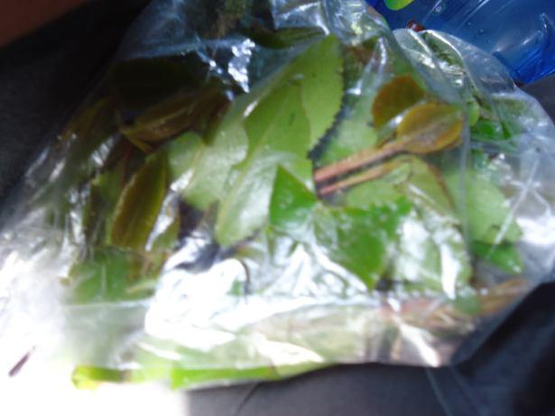 chewing qat in ethiopia