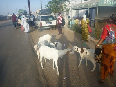 Goats on the road between Foundiougne and Karang