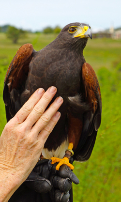 Dart the Harris Hawk