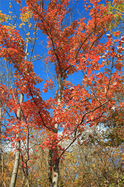 appalachian tree