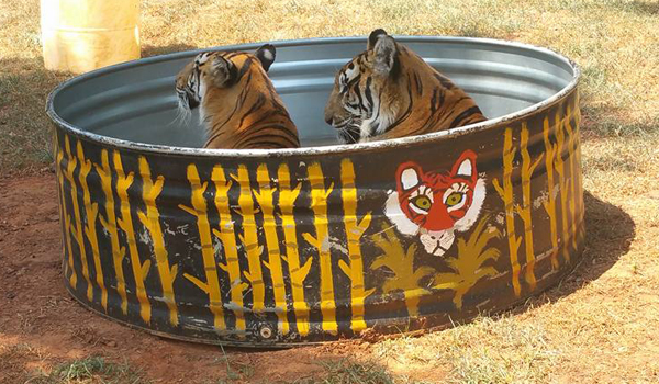 Tigers in the pool