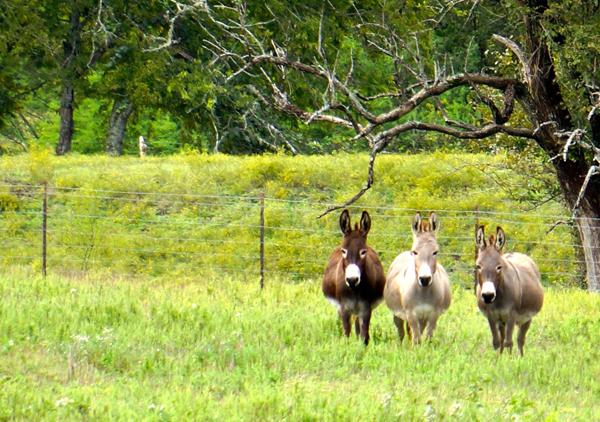 Lynnes Three Donkey Amigos small