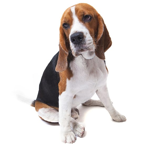 Photograph of a beagle.