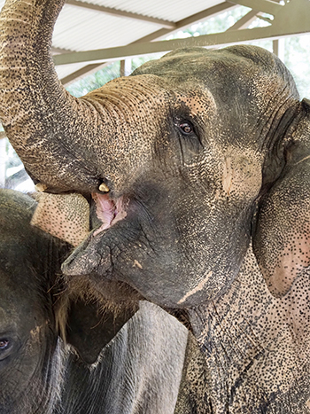View of a 58-year-old elephant matriarch.