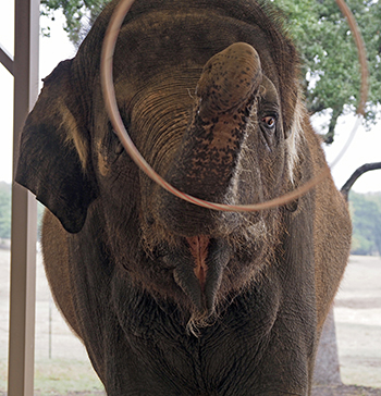 Front view of an elephant twirling a hula hoop around his trunk.