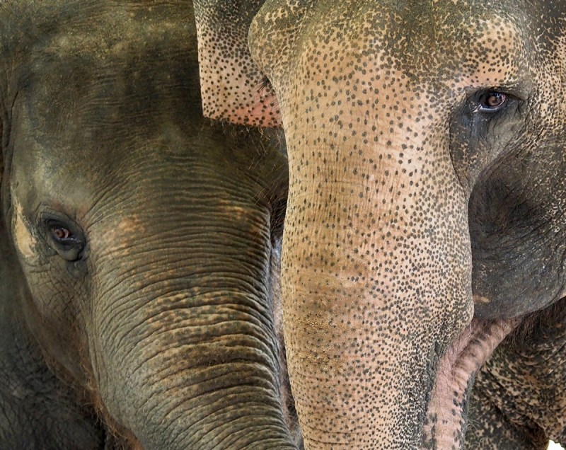 Two elephants caress each other's faces with their trunks, showing how elephants have a need for physical contact with each other.