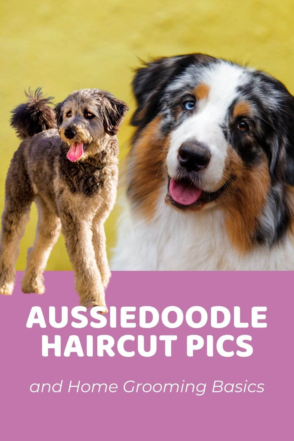 Aussie Haircut : aussie, haircut, Aussiedoodle, Haircuts, (With, Pictures), Grooming