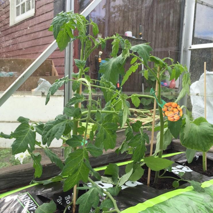 Tomatplanterne er klar til at vokse