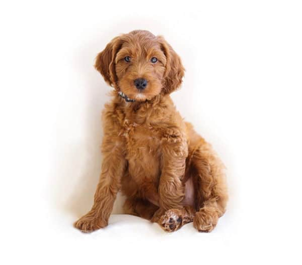 Red Goldendoodle on white background. Identify Goldendoodle puppy