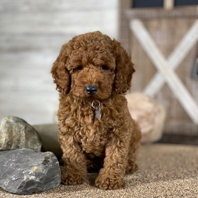 Sunshine Acres Goldendoodles Red And Apricot Moyen Poodle