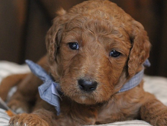 Available Goldendoodles Puppies Columbus Ohio Doodle Puppies