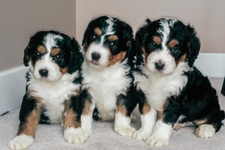 Bernadoodles Archives Doodle Squad Puppies