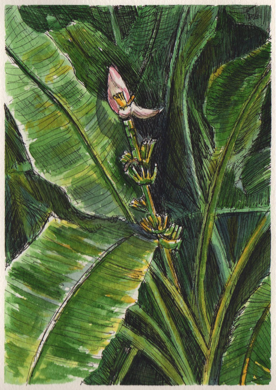 Baby Banana Tree in Guadeloupe