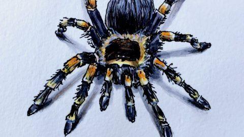 Tarantula by Charlie O'Shields