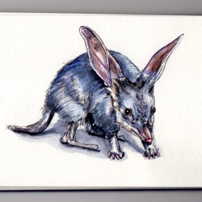 Greater Bilby Doodlewater - rabbit-eared bandicoot the Australian Easter Bunny in watercolor