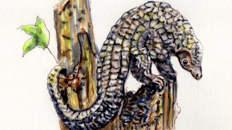 Doodlewash of Pangolin - Endangered Species in watercolor sketch painting Red List