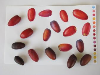 A scattering of fresh red and black dates painted in watercolour and real (Doodlewash)