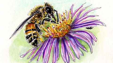 Doodlewash and Watercolor sketch of Western Bee European Bee on purple and yellow flower nature hike