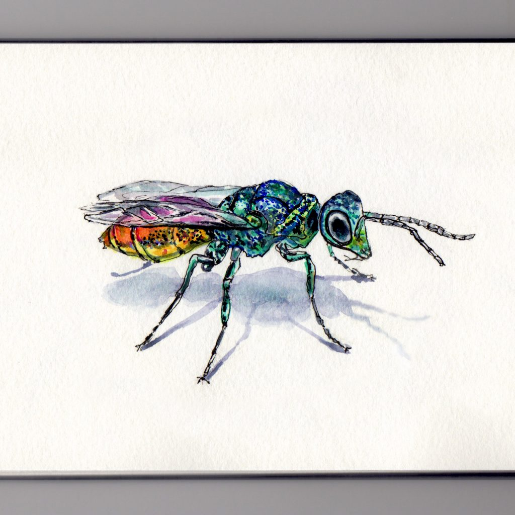 A Cuckoo Wasp from California Doodlewash and watercolor sketch of iridescent green blue wasp