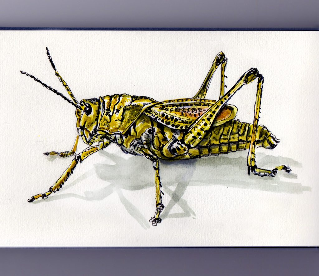 Grasshoppers in the Hay Fields Doodlewash and watercolor sketch locust and grasshopper