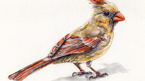 Doodlewash and watercolor sketch of female cardinal redbird on white background