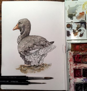 Doodlewash and watercolor sketch by E. O. Brown of duck