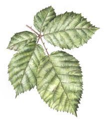 Doodlewash - Watercolor botanical illustration by Jarnie Godwin of bramble leaves close up