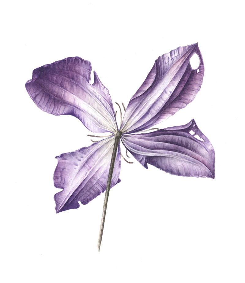 Doodlewash - Watercolor botanical illustration by Jarnie Godwin of clematis