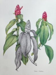 Doodlewash and watercolor painting by Esther Geh of Costus Woodsonii