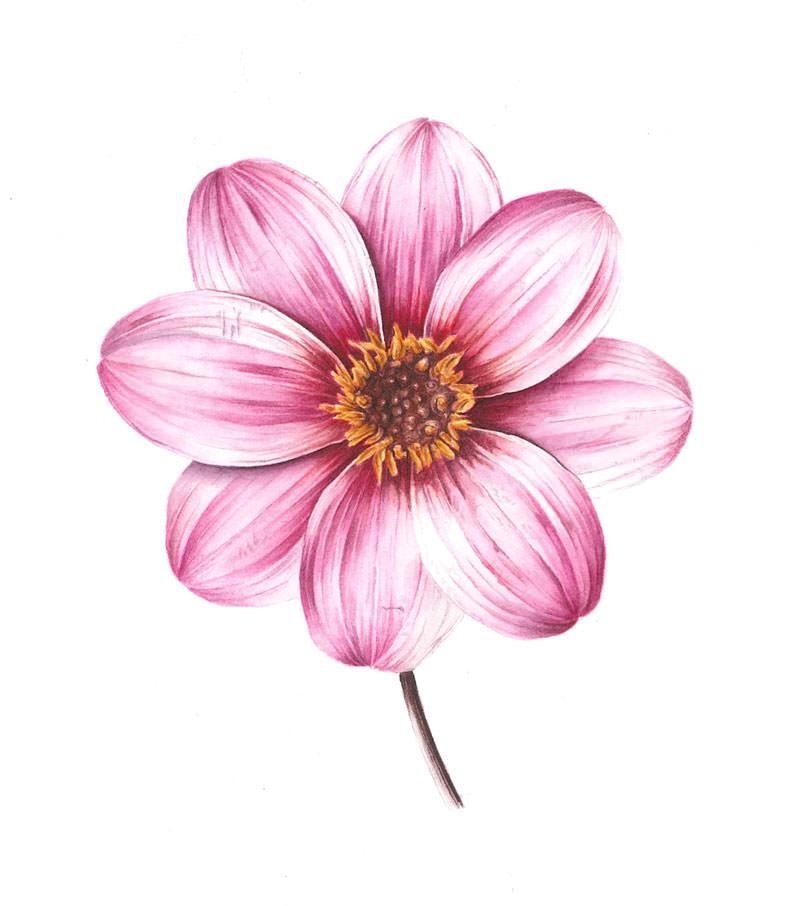 Doodlewash - Watercolor botanical illustration by Jarnie Godwin of pink dahlia
