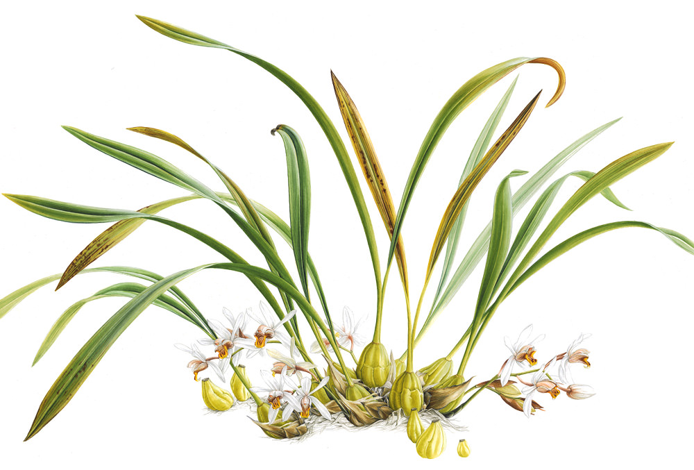 Doodlewash - Botanical Illustration by Işık Güner of Coelogyne Viscosa