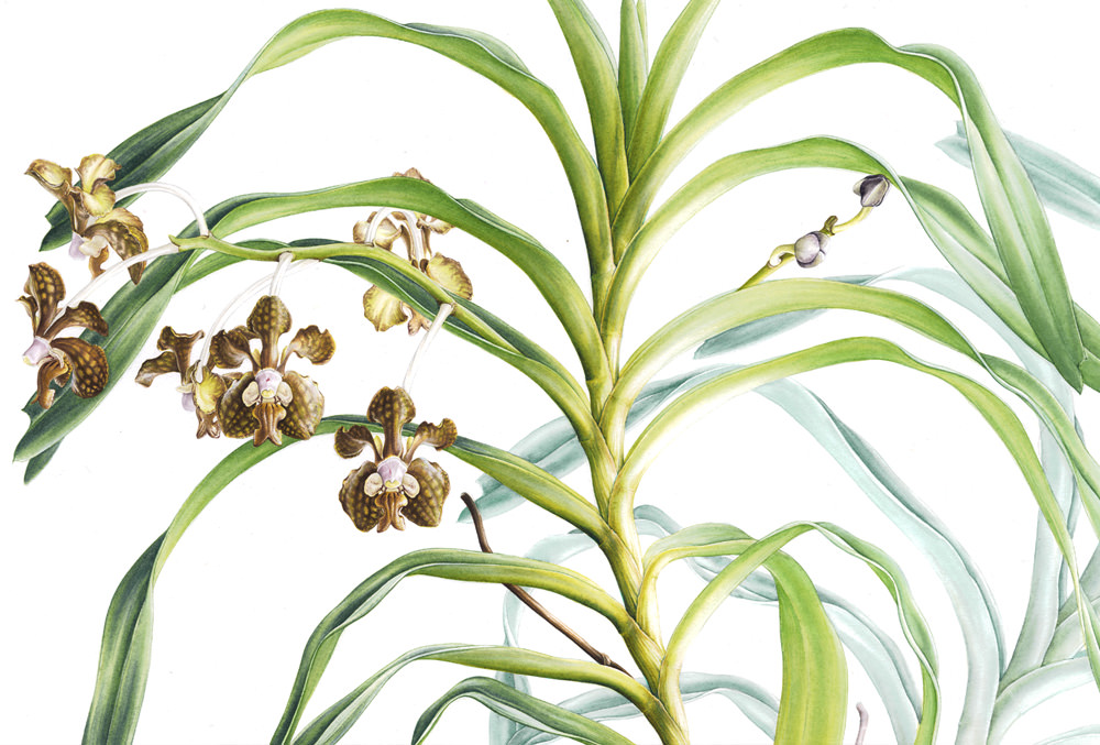 Doodlewash - Botanical Illustration by Işık Güner of Vanda brunnea