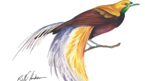 Doodlewash - Watercolor by Bill Jackson of Lesser Bird of Paradise