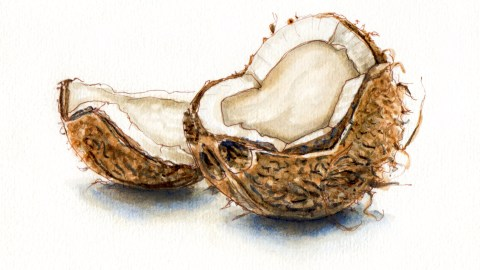 Day 19 #WorldWatercolor Group Going Coconuts Fresh halved coconut on white background watercolor