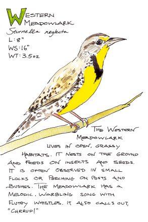 #WorldWatercolorGroup - Watercolor Sketch by Maria Coryell-Martin of Western Meadowlark - #doodlewash