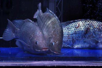 Window Fish