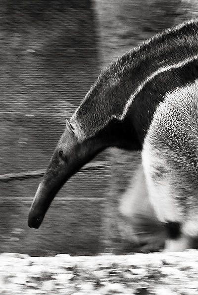 Ant Eater