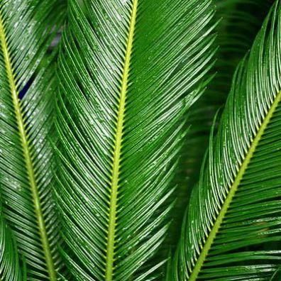 Waxy Palm